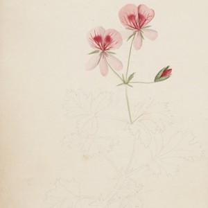 "This page from Miss Murray's Album reveals an partially painted botanical pencil sketch. A small note has been left in the lower corner of the page: ""The Atholina, to be finished..."" Miss Murrary's album, unfinished floral watercolour Miss C.M. Murray's Album, 1829 [manuscript]. [ca. 1829]"