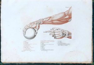 Figure 6.Os et muscles de la main et du bras, Anatomie du gladiateur combattant de Jean-Galbert Salvage (1812).