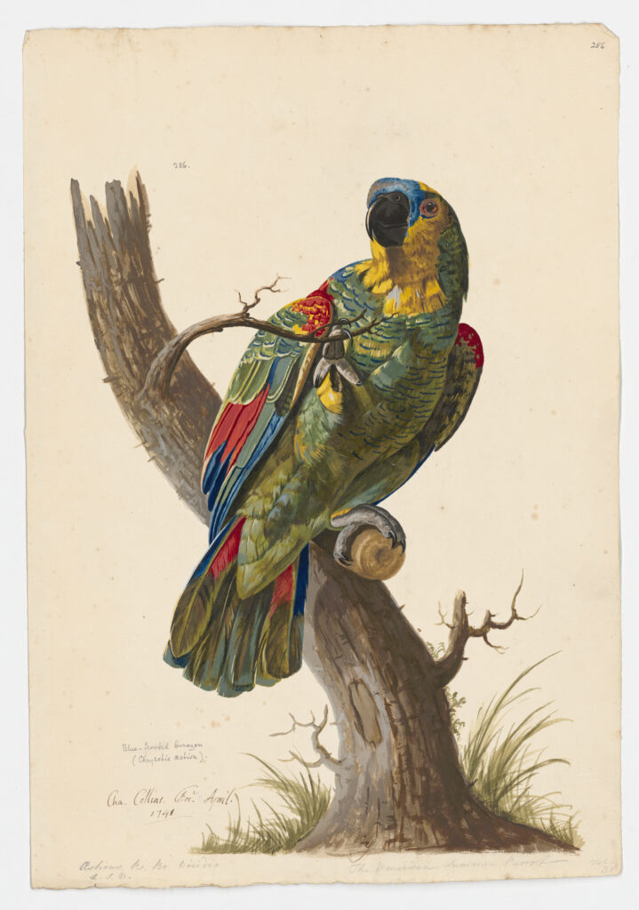 Drawing of blue-fronted Amazon by Chalres Collins, 1740. Rare Books & Special Collections